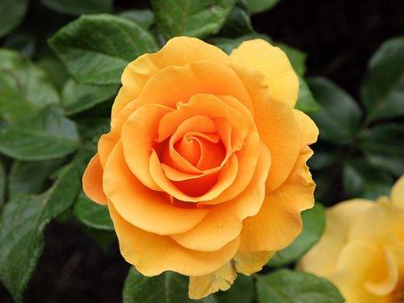 Flower, Rose, Nature, Romance, Petals, Floribunda