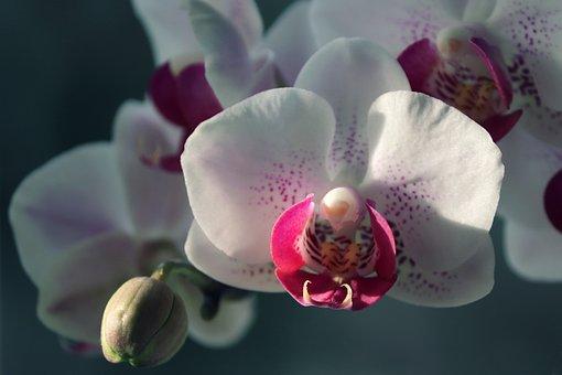 Orchid, Ornamental Plant, Orchidaceae, Flower, Violet
