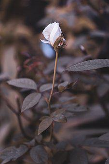 White Rose, Rosebud, Bloom, Bud, White, Plant, Flower