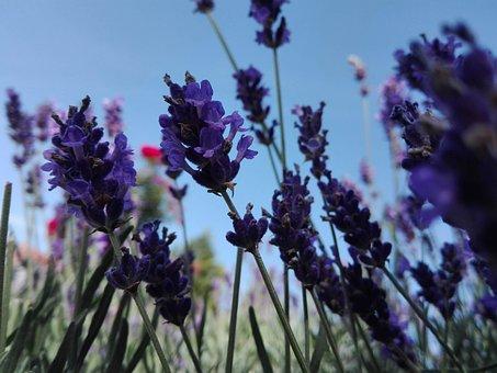 Lavender, Garden, Violet, Flowers