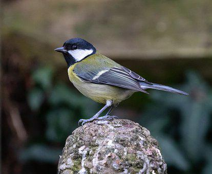 Great Tit, Feeding Tit, Tit, Small Bird, Garden Bird