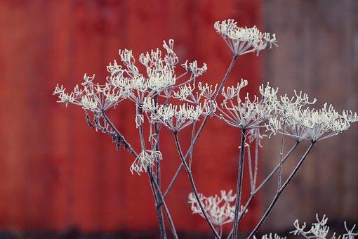 Herb, Umbel, Ice, Hoarfrost, Winter, Plant, Frozen