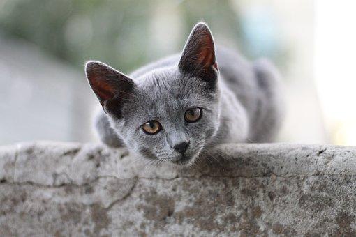 Cat, British Shorthair, Kitten, Cute