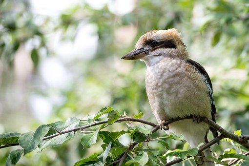 Kookaburra, Bird, Australia, Kingfisher, Native