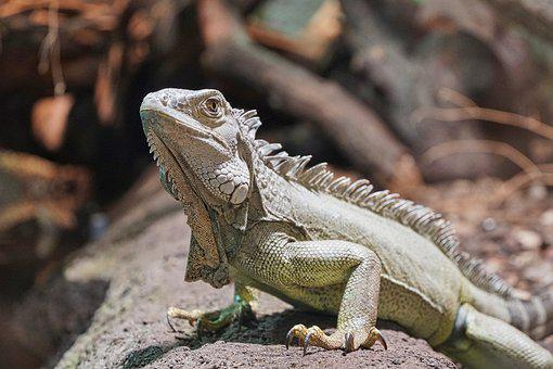Bearded Dragon, Lizard, Terrarium, Reptile, Scale