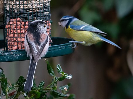 Long Tailed Tit, Blue Tit, Blue, Feeding, Feeder
