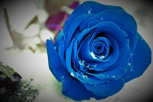 Blue Rose On Grave, Snow, Snowflakes, Lost Love