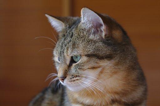 Cat, Tabby, Fur, Nature, Animals, Feline, Mammals, Love