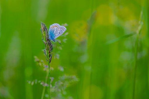 Butterfly, Restharrow's Blue, Butterflies, Meadow