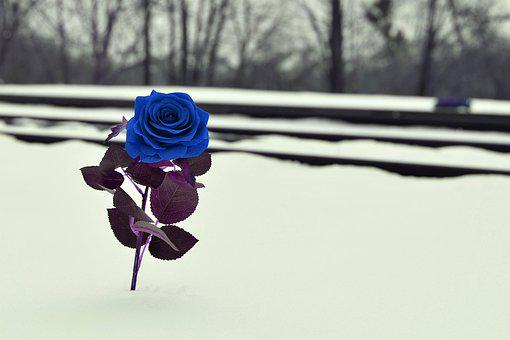 Blue Rose Near Rail, True Love Symbol, Missing