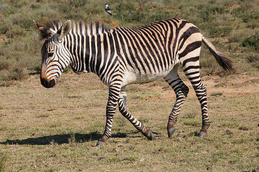 Hartmann's, Mountain Zebras, Zebra, Zebras, Africa