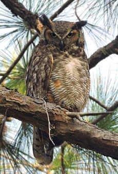 Great Horned Owl, Great Horned Owls, Owls, Owl, Nature