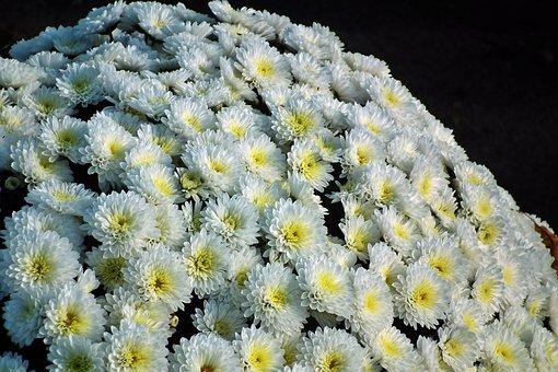 Chrysanthemum, Flowers, Autumn, Nature, The Petals
