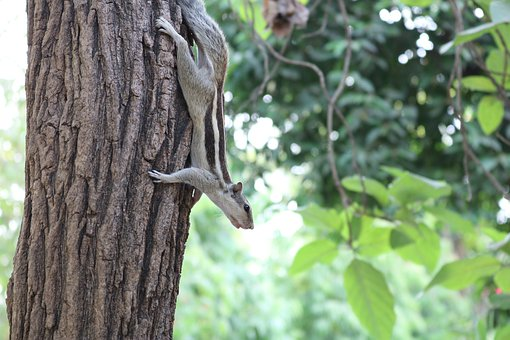Squirrel, Indian, Animal, Wildlife, Karnataka, Nature