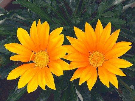 Pair, Flowers, Sun Flowers, Tulips, Orange, Yellow