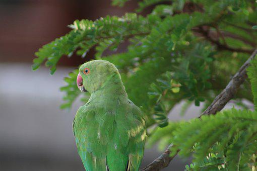 Parrot, Indian, Animal, Texture, Presentation, Triangle
