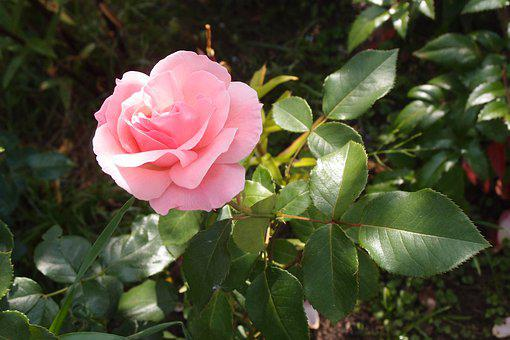 Rose, Flower, Roses, Flowers, Nature, Pink, Petal