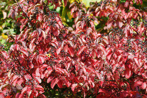 Bush, Red, Leaves, Nature, Autumn, Plant, Close Up