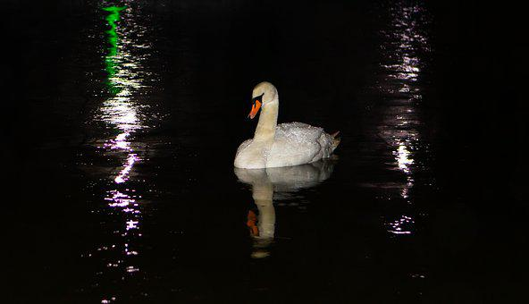 Swan, Reflection, Lake, River, White, Mute Swan