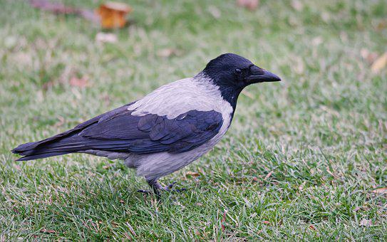 Bird, Crow, Plumage, Gray, Black, Almost, Sitting