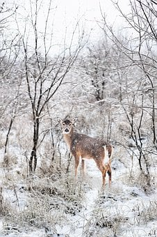 Snowy, Winter, Forest, Snow, Deer, Wintry, Cold