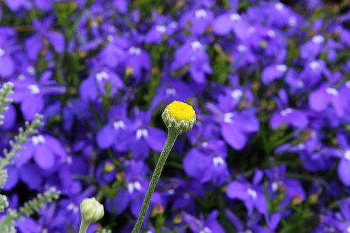 Geese Flower, Flower, Plant, Nature, Spring, Blossom