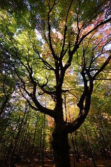 Earth Hour, Maple, Tree, Autumn, Nature, Magic, Forest