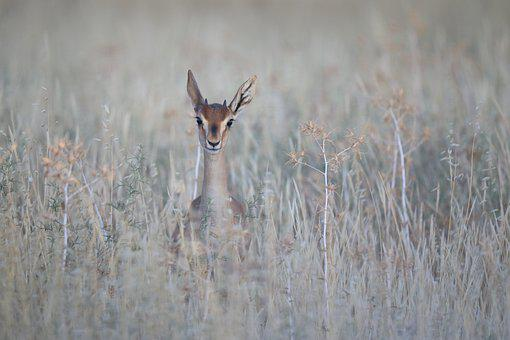 Antelope, Nature, Wildlife, Ungulate, Blackbuck