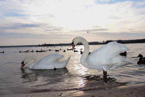 Swans, Para, Water Birds, Sunrise