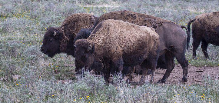 Bison, Landscape, Nature, Wildlife, Wyoming, Outdoors