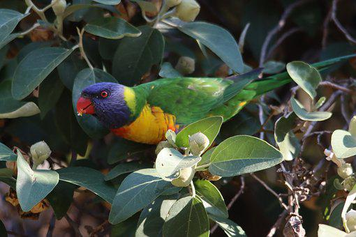 Rainbow, Lorikeet, Eating, Native, Australian, Adelaide