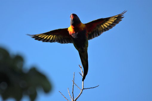 Rainbow, Lorikeet, Flying, Native, Australian, Adelaide
