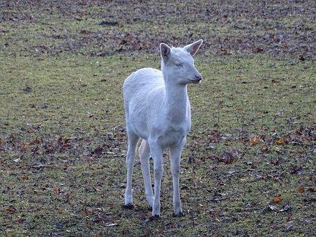 Roe Deer, Albino, Animal World, Mammal