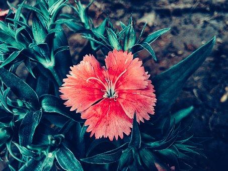 China, Pink, Garden, Flower, Glory, Beauty, Beautiful