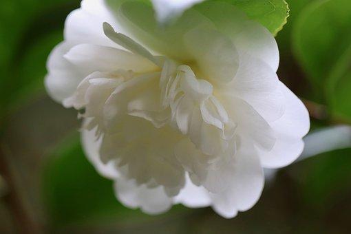 Camellia Flower, Camellia, Blossom, Bloom, White