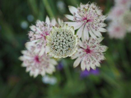 Great Masterwort, Flower, Blossom, Bloom, White