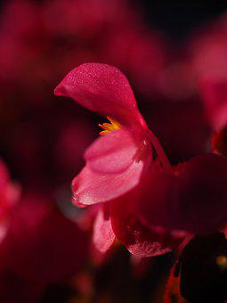 Blossom, Bloom, Close Up, Detail, Ice Begonia, Flower