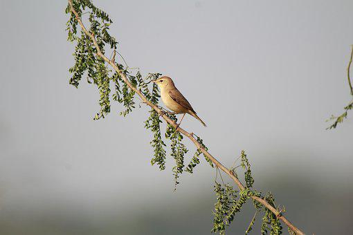 Warbler, Bird, Nature, Songbird, Wildlife, Branch