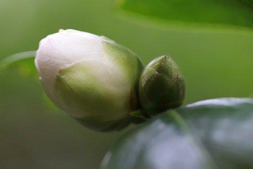 Bud, Camellia, White, Flower, Blossom, Bloom