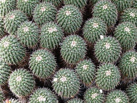 Cactus, Plant, Nature, Flora, Desert, Prickly, Spur