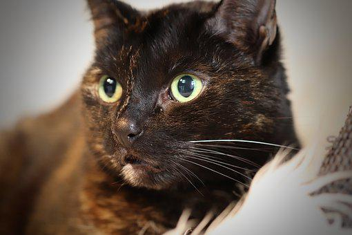 Cat, Cat's Eyes, Tortoise Shell, Pet, Domestic Cat