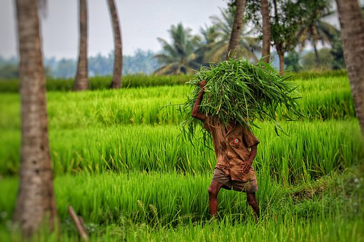 India, Paddy, Fieldwork, Agricultural Workers, Harvest
