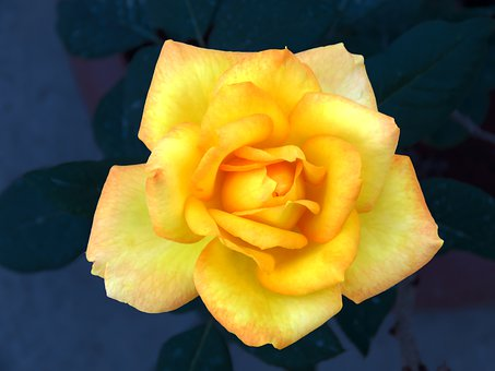 Yellow Rose, Yellow, Rose, Flower, Romance, Romantic