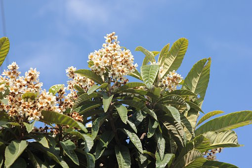 Loquat, Fruit, Flowering, Tree, Plant, Garden