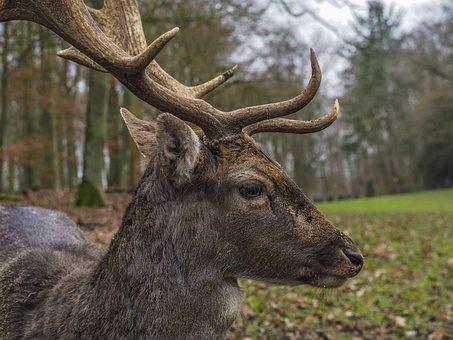 Animal, Hirsch, Nature, Animal World, Forest, Mammal