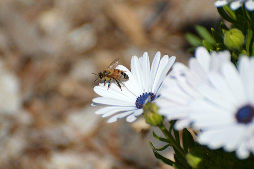 Daisies, Freeway Daisies, Bee, Landscape, Nature