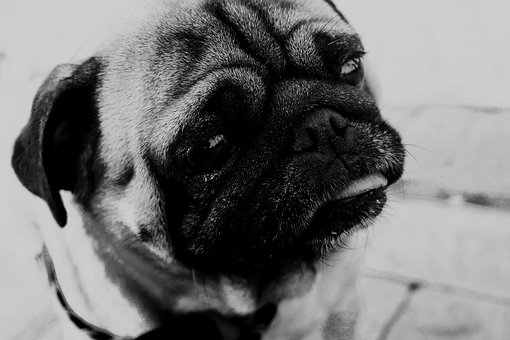 Dog, Pug, Animal, Cute, Nature, Face, Funny, Little