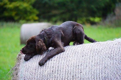 German Quail Dog, Hunting Dog, Stoeberhund, Brown, Dog