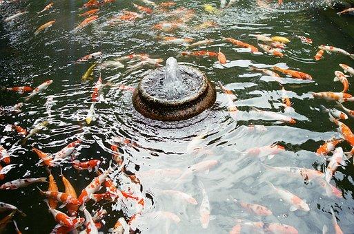 Fish, Water, Koi, Animal