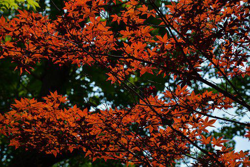 Maple, Leaves, Tree, Leaf, Autumn, Forest, Nature
